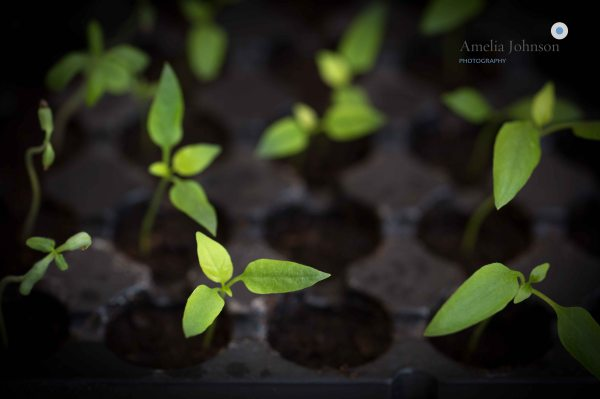 chili seedlings amelia johnson photography
